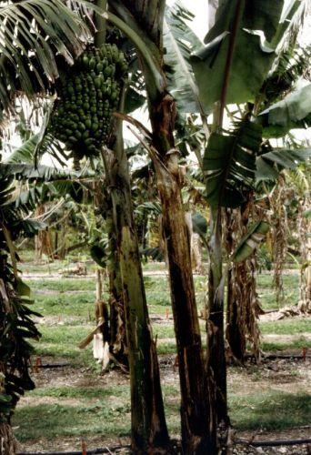 Musa 'Mysore'