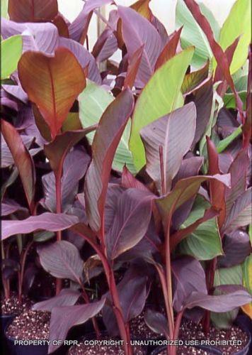 Canna musafolia