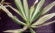Furcreae gigantea variegata